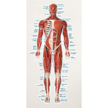 Labeled Muscular System Vinyl Poster (Front View) & More at MeyerDC™