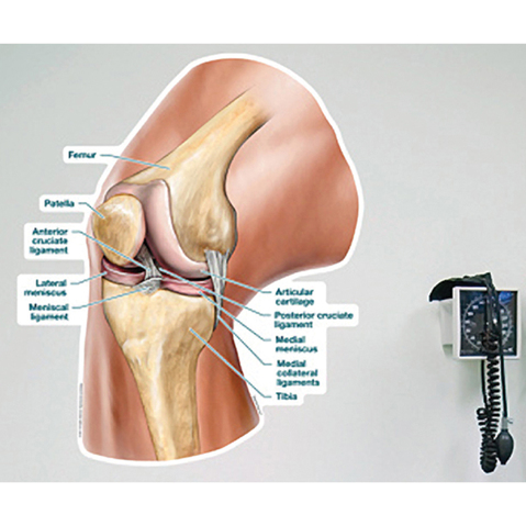 Body Part Chart Labeled Knee Ligaments Vinyl Poster At Meyerdc